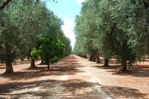 i nostri ulivi